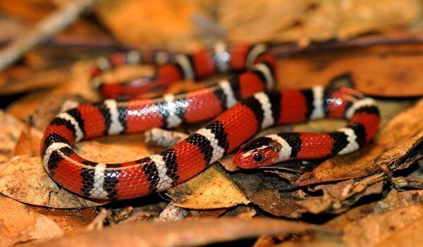 Фото: Молочная змея Кэмпбелла