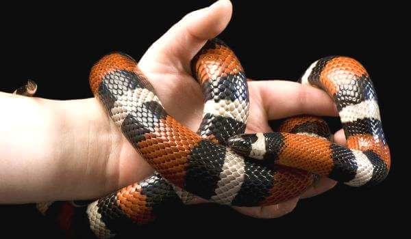Фото: Молочная змея