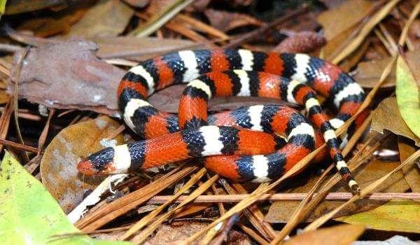 Фото: Королевская молочная змея