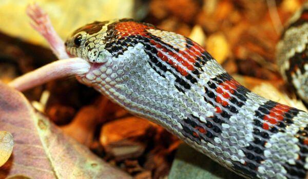 Фото: Гондурасская молочная змея