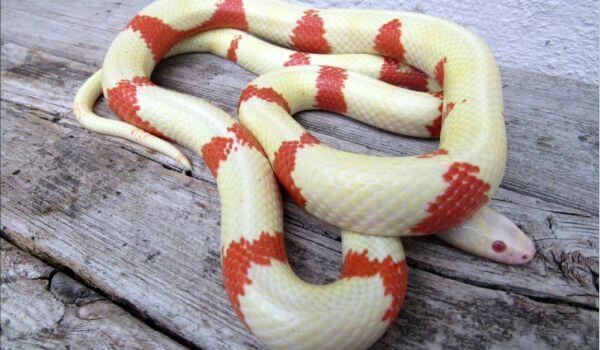 Фото: Белая молочная змея