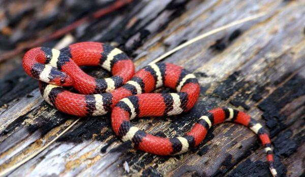 Фото: Синалойская молочная змея