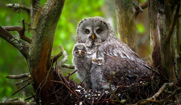 Фото: Птенцы неясыти