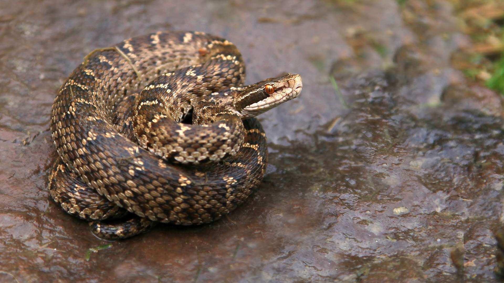 них запечатлены змея щитомордник фото и описание она роговая оболочка