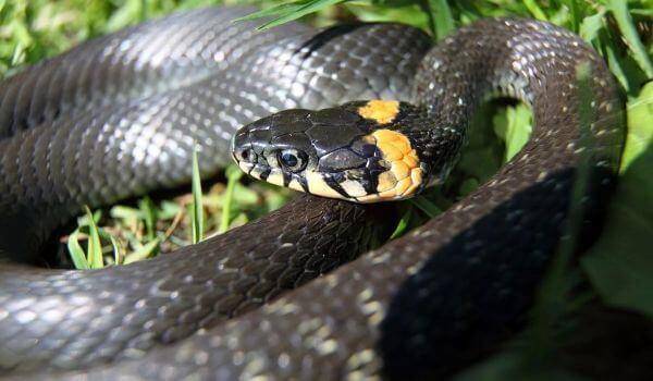 Фото: Змея обыкновенный уж