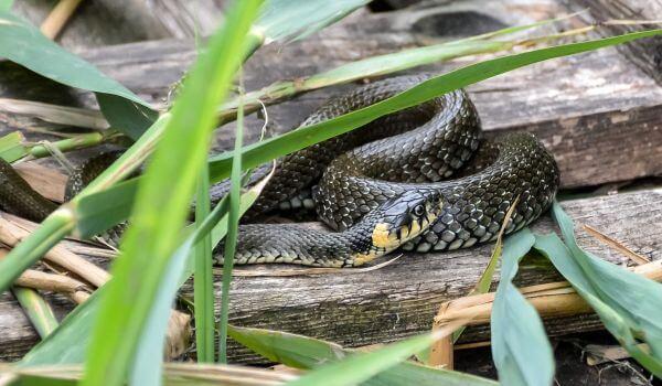 Фото: Неядовитая змея уж обыкновенный