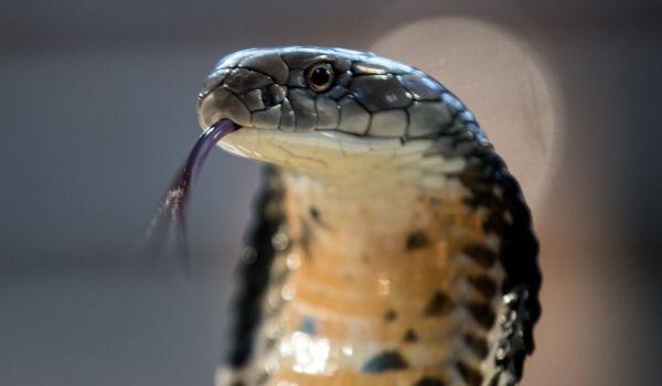 Фото: Опасная очковая змея
