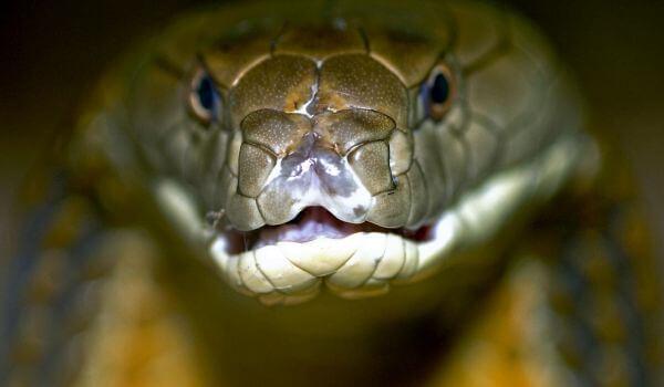 Фото: Очковая змея