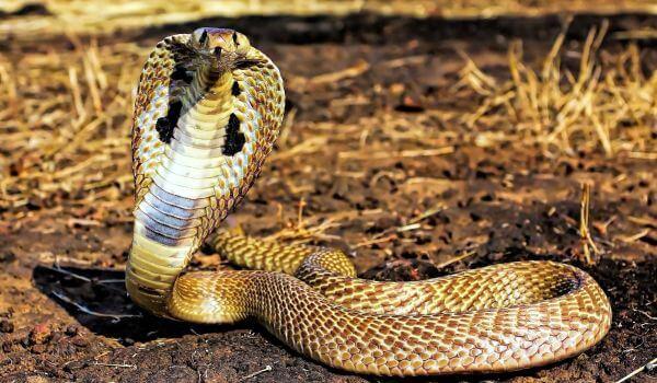 Фото: Очковая змея из Красной книги