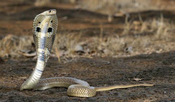 Фото: Очковая змея в Индии