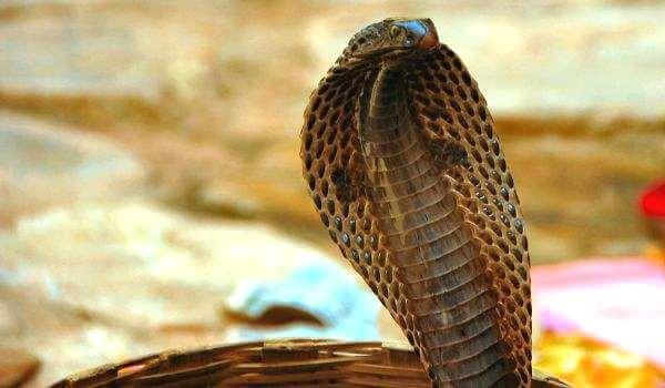 Фото: Ядовитая очковая змея