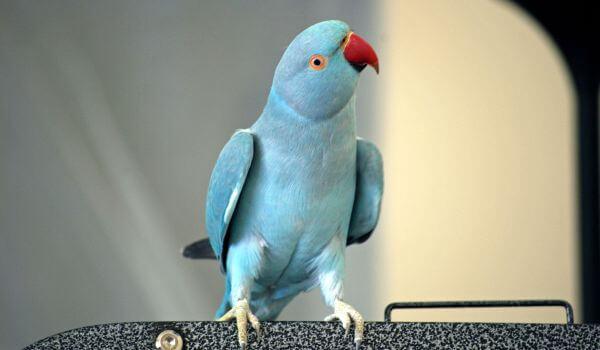 Фото: Голубой ожереловый попугай