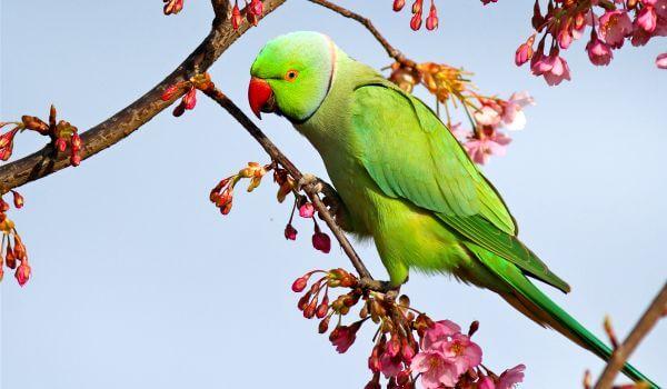 Фото: Ожереловый попугай самец