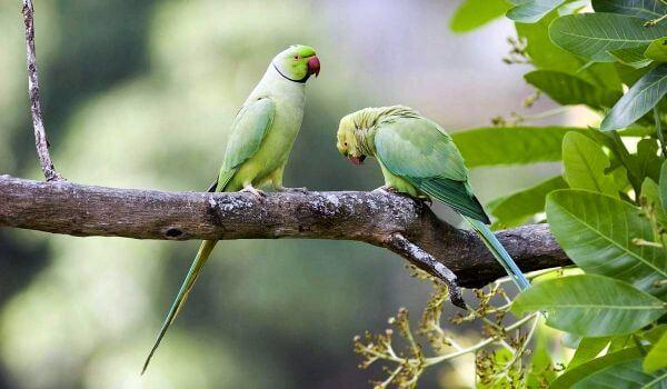 Фото: Пара ожереловых попугаев