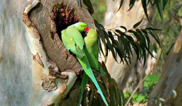 Фото: Ожереловый попугай