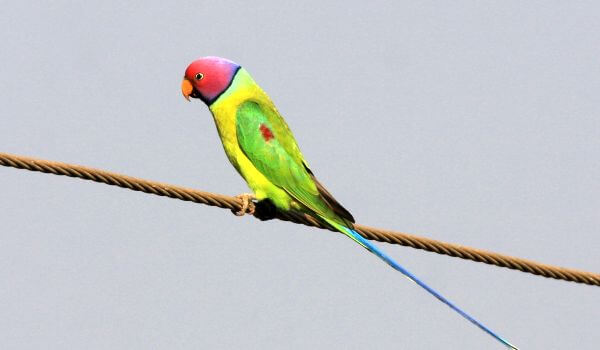 Фото: Ожереловый попугай в природе