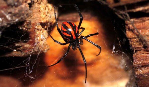 Фото: Крымский паук каракурт