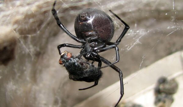 Фото: Ядовитый паук каракурт