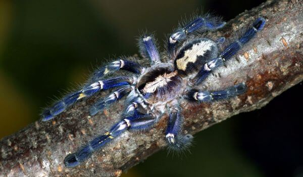 Фото: Большой паук птицеед