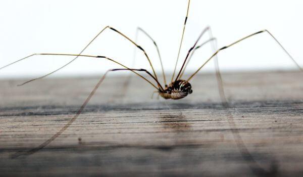 Фото: Опасный паук сенокосец