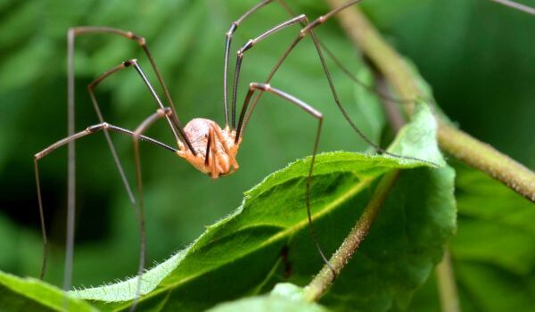 Фото: Ядовитый паук сенокосец