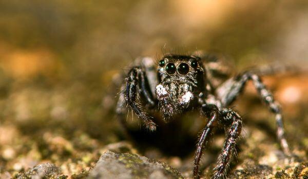 Фото: Черный паук скакун