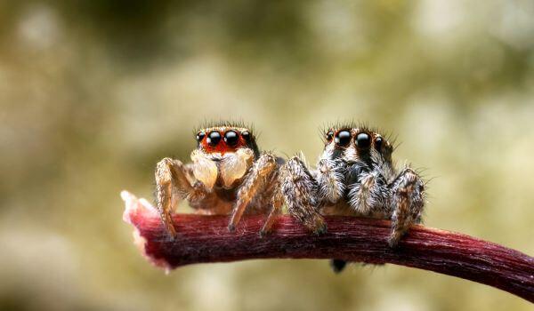 Фото: Пара пауков скакунов