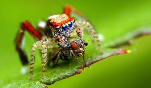 Фото: Красный паук скакун