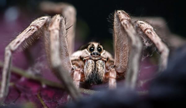 Фото: Паук тарантул