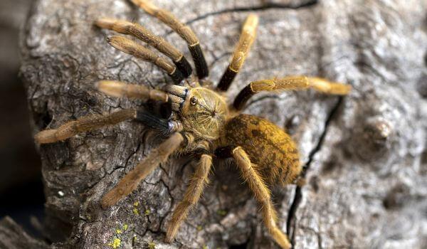 Фото: Паук тарантул в России