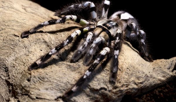 Фото: Паук тарантул из Красной книги
