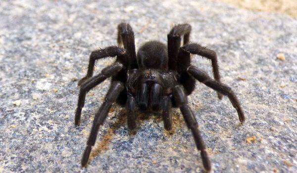 Фото: Черный паук тарантул