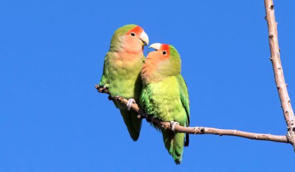 Фото: Пара попугаев неразлучников