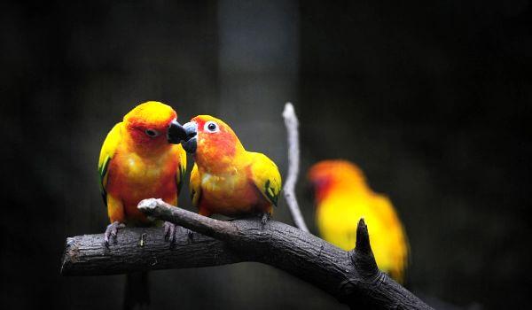 Фото: Попугаи неразлучники в Африке