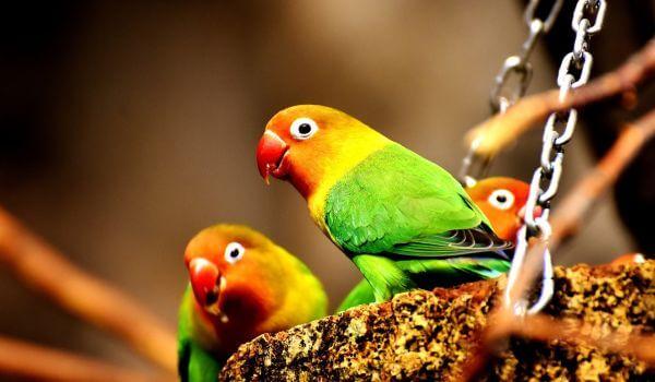 Фото: Попугаи неразлучники