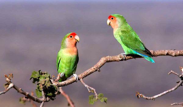 Фото: Попугаи неразлучники в природе