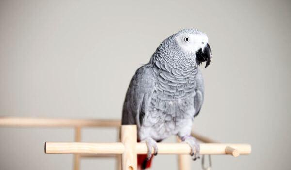 Фото: Попугай жкао