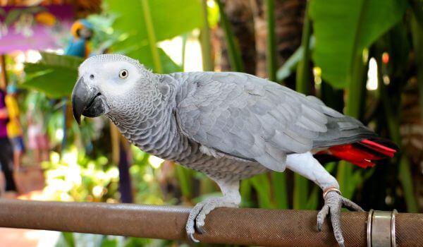 Фото: Попугай жако из Красной книги