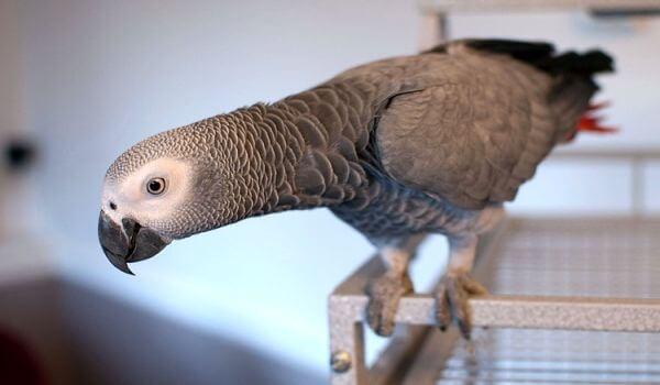 Фото: Домашний попугай жако