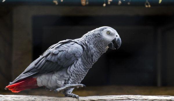 Фото: Попугай породы жако