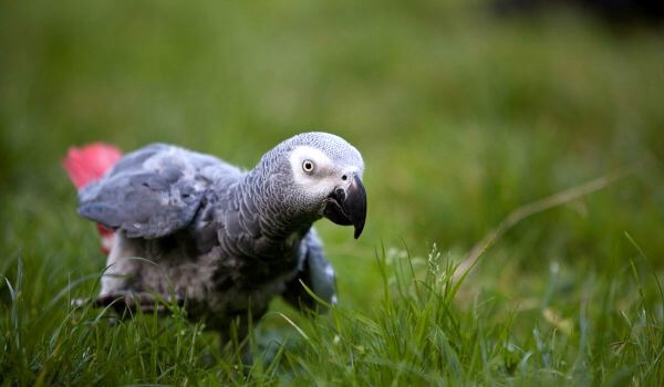 Фото: Попугай жако