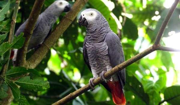 Фото: Говорящий попугай жако