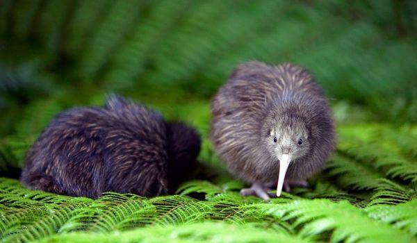 Фото: Птица киви в природе