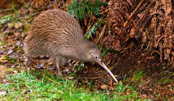Фото: Птица киви в Новой Зеландии