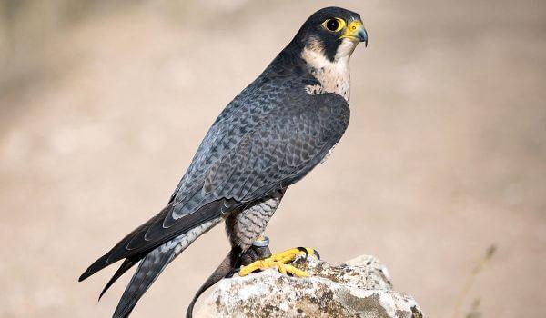 Фото: Хищная птица сапсан