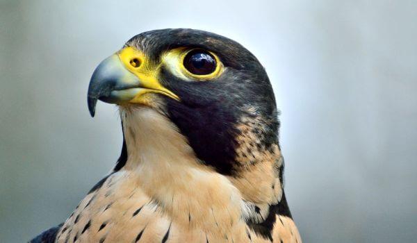 Фото: Птица сапсан из Красной книги