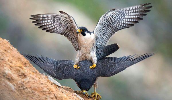 Фото: Редка птица сапсан
