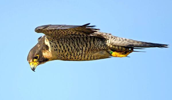 Фото: Быстрая птица сапсан