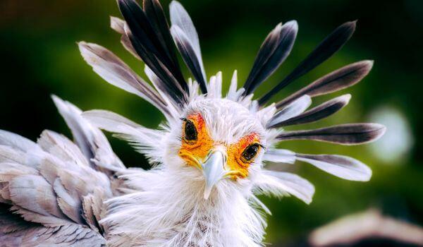 Фото: Птица секретарь в природе