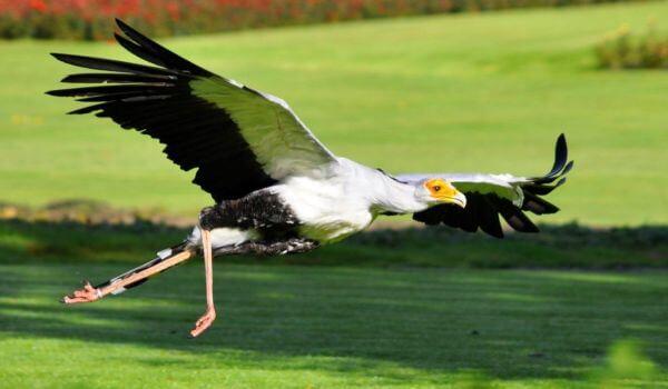 Фото: Птица секретарь в полете